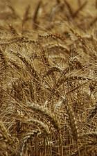 Juice Plus Reviews. Wheat, Rye & Barley